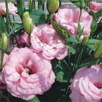 Lisianthus 'Cinderella Pink'