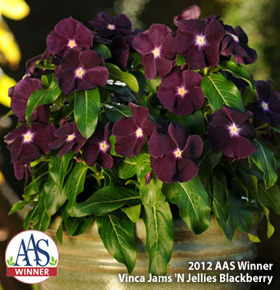 2012 AAS Winner Vinca Jams 'N Jellies Blackberry