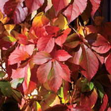 Virginia Creeper Red Wall