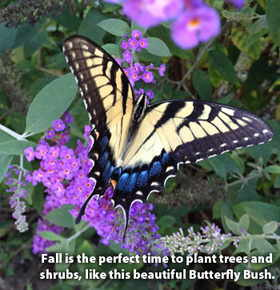 Fall is the perfect time to plant trees and shrubs, like this beautiful Butterfly Bush.