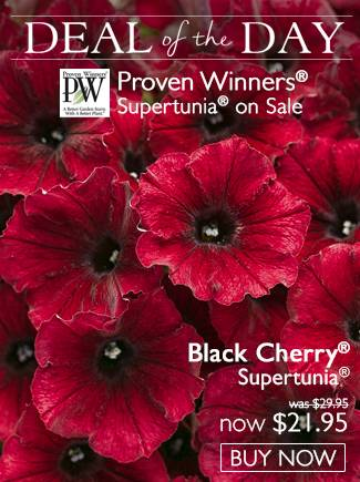 DOTD - Black Cherry Supertunia - Now $21.95!