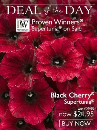 DOTD - Black Cherry Supertunia - Now $21.95!