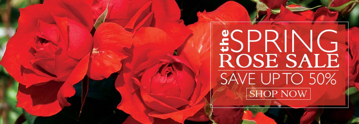 THE Spring Rose Sale - Up To 50% Off