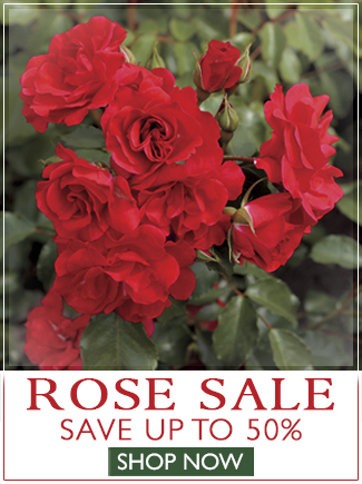 Rose Sale - Save up to 50% on Select Roses