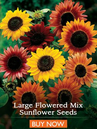 Large Flowered Mix Sunflower Seeds - BUY NOW