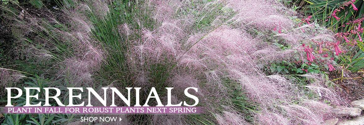 Plant in Fall for Robust Plants Next Fall - SHOP NOW