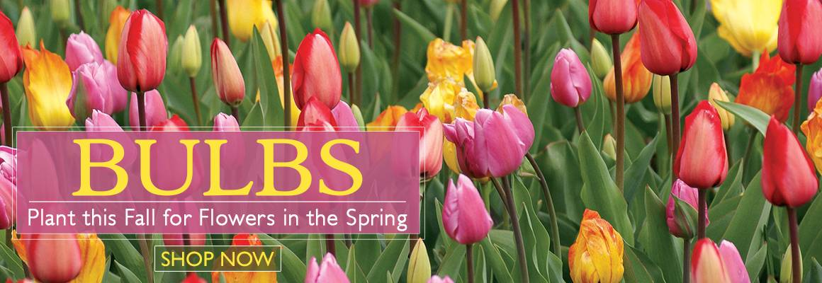 Bulbs - Plant This Fall For Flowers in the Spring - SHOP NOW