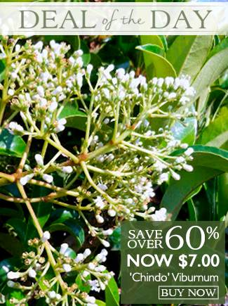 Deal of the Day - Chindo Viburnum - Now $7 - Over 60% Off