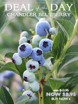 Deal of the Day - Chandler Blueberry - Now $8.95 - BUY NOW