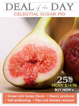 Deal of the Day - Celestial Sugar Fig - NOW $14.96 - SHOP NOW