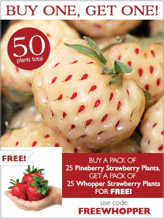 BOGO - Buy a pack of Pineberry Strawberries and get a pack of Whopper Strawberries FREE! - BUY NOW