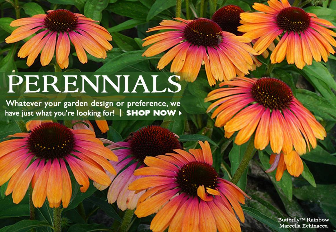 Perennial Plants - SHOP NOW