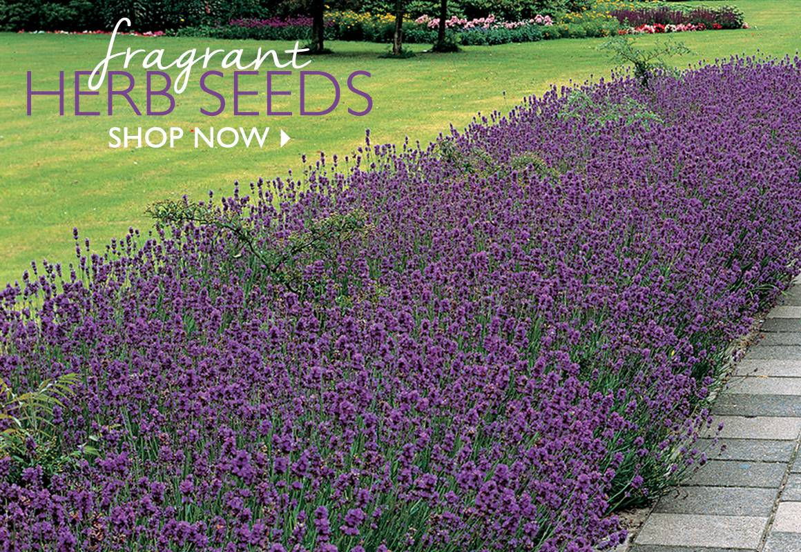 Fragrant Herb Seeds - SHOP NOW
