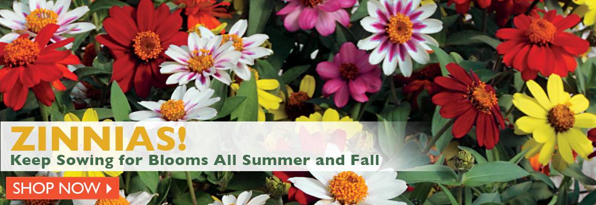 Zinnias - Keep Sowing for Blooms All Summer and Fall - SHOP NOW