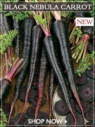 Black Nebula Carrot Seeds - SHOP NOW