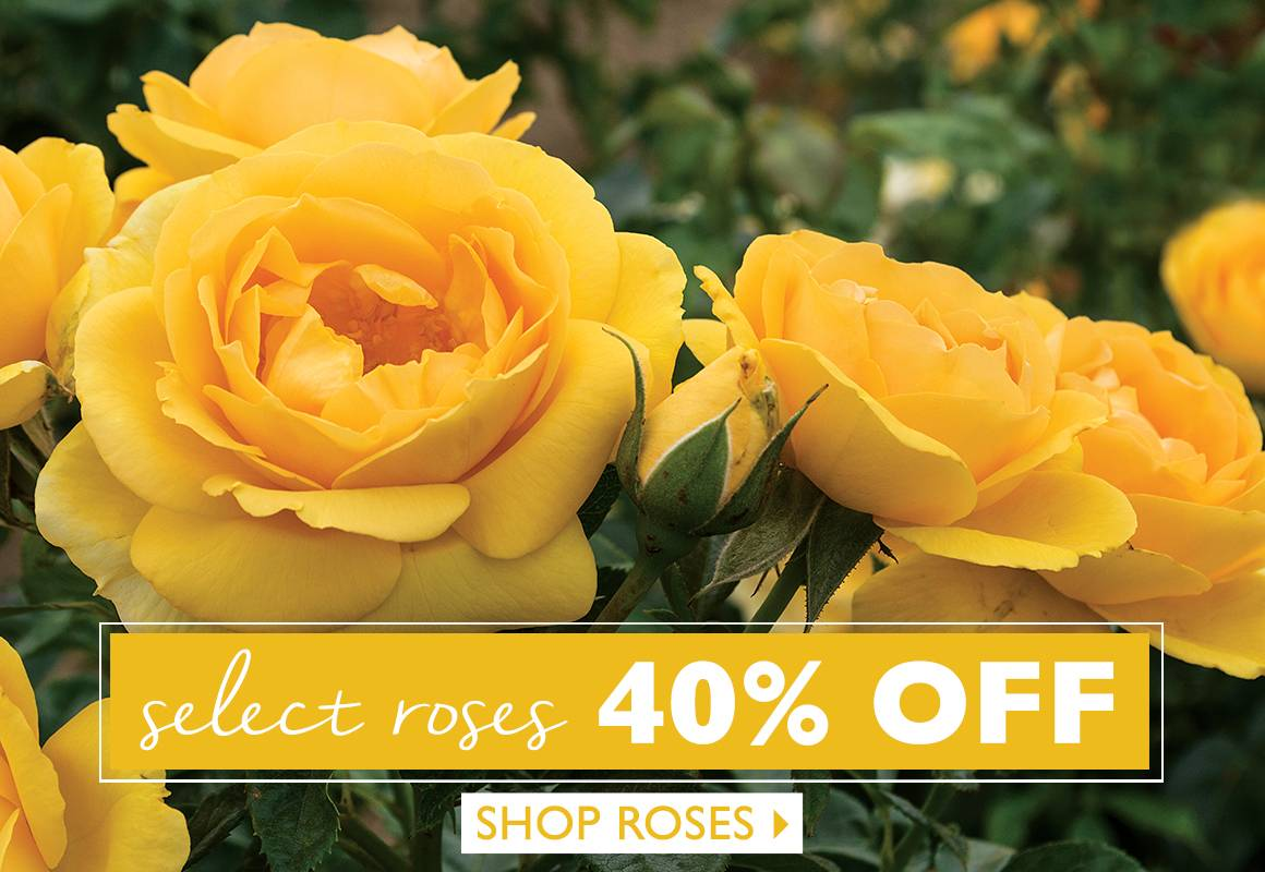 Save 40% on Select Roses - SHOP NOW