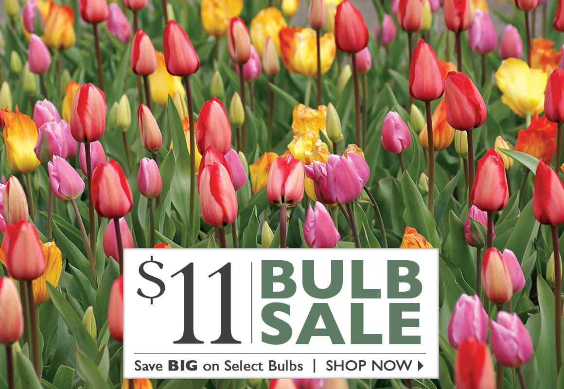 $11 Bulb Sale - SHOP NOW