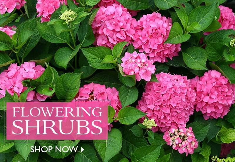 Flowering Shrubs - SHOP NOW