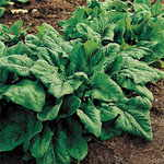 Spinach Renegade Hybrid