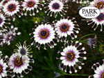 African Daisy Flower Power<TM> Spider White Purple