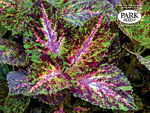 Coleus Giant Exhibition Marble