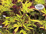 Coleus Witch Doctor