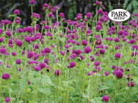 Globe Amaranth All Around Purple