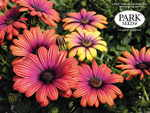 African Daisy Astra Sunset Purple'