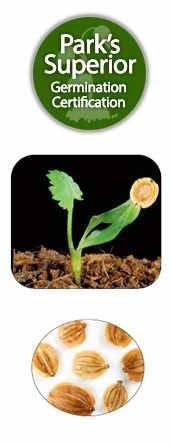 Pastinaca Seed Germination