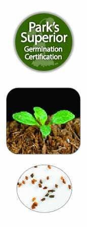 Nierembergia Seed Germination