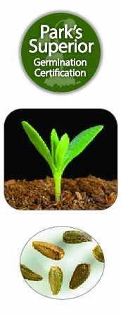 Osteospermum Seed Germination