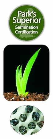 Pardancanda Seed Germination