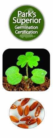 Pelargonium Seed Germination