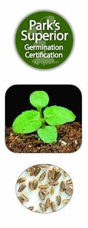 Spilanthes Seed Germination