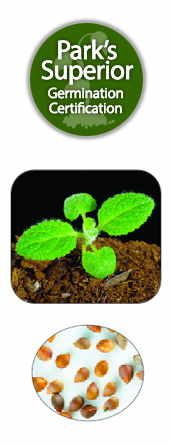 Stachys Seed Germination