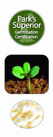 Tanacetum Seed Germination