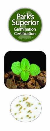 Verbascum Seed Germination