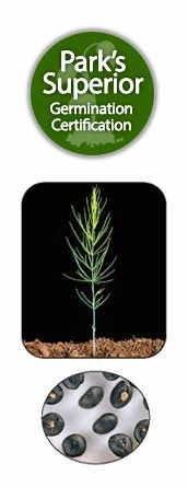 Asparagus Seed Germination