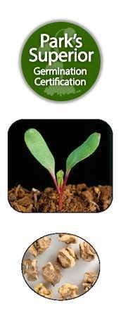 Beet Seed Germination