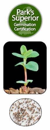 St. John's Wart Seed Germination