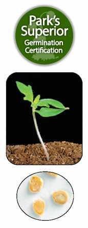 Tomato Seed Germination