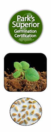 Bellis Seed Germination