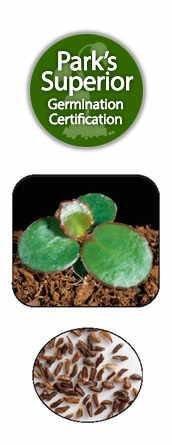 Bergenia Seed Germination