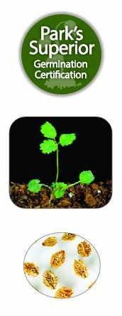 Salad Burnet Seed Germination