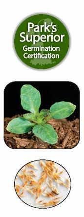 Buddleia Seed Germination