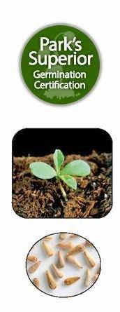 Callistephus Seed Germination