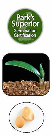 Clivia Seed Germination