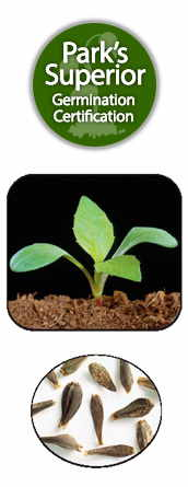 Dahlia Seed Germination