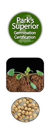 Dichondra argentea Seed Germination