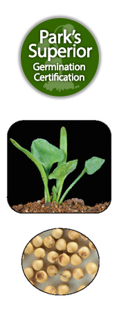 Dichondra micrantha Seed Germination